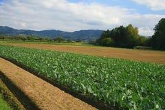 Field of cabbage kohlrabi. Stock Photo