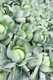 Field of cabbage plants Royalty Free Stock Images