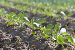 Field of cabbage, spring Royalty Free Stock Image
