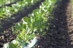 Field of cabbage, spring Royalty Free Stock Photo