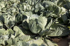Field with cabbage, summer Royalty Free Stock Image