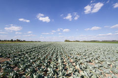 Field of cabbage. View of the field with cabbage Stock Photography