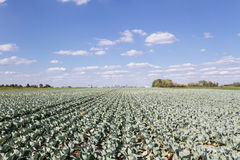 Field of cabbage. View of the field with cabbage Royalty Free Stock Image