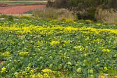 Field of cabbage Stock Photos