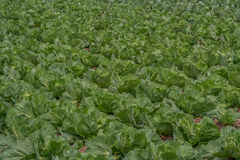 Field of cabbage Stock Photo