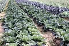 Field of cabbages Royalty Free Stock Photos