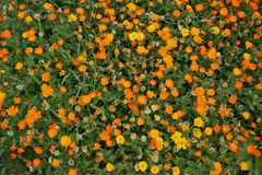 Field of calendula Stock Photos