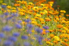 Field of Calendula Royalty Free Stock Image