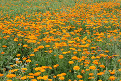 Field with a calendula royalty free stock photos