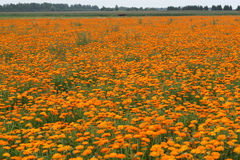 Field with a calendula. Field with a medicinal calendula Stock Photo