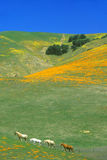 Field of California poppies in bloom with wildflowers, Lancaster, Antelope Valley, CA Royalty Free Stock Photo