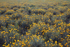 Field of California Poppy Stock Images