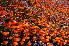 Field of California wildflowers royalty free stock photos
