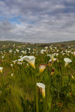 Field of calla lilies. Field of calla or arum lilies (Zantedeschia aethiopica) in Darling, Western Cape, South Africa Royalty Free Stock Image