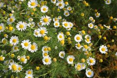Field of camomile. Flowers camomile of the field Stock Photo