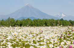 Field with camomile. Before vulcan on Kamchatka Royalty Free Stock Photography
