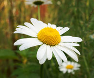 Field camomile. Photo close up Royalty Free Stock Image