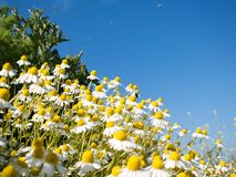 Field of camomile. Flowers under the blue sky Stock Image