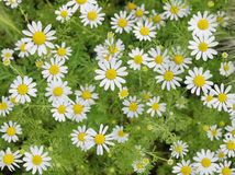 Field of Camomile. Background Stock Photography