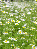 Field of Camomile. Background Stock Images