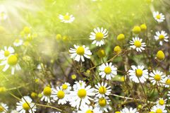 Field of a camomile Royalty Free Stock Images
