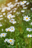 Field of camomile flower Stock Photo