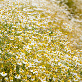 Field of camomile flowers. Field of blooming camomile flowers Stock Image