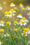 Field of camomile flowers. Close up. Stock Photo