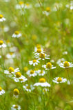 Field of camomile flowers. Close up. Stock Image