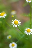 Field of camomile flowers. Close up. Royalty Free Stock Photo