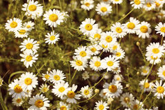 Field of camomile flowers Royalty Free Stock Image