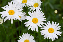 A field of camomile flowers Royalty Free Stock Photo