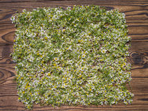 Field camomile, Royalty Free Stock Photo