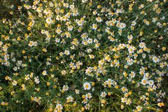 Field of camomile Matricaria chamomilla flowers. Flower texture.Top view Stock Images