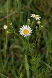 Field camomile Royalty Free Stock Images