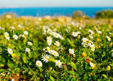 Field of camomile, Portugal Royalty Free Stock Photos