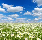 Field of camomiles. And blue cloudy sky Stock Photos