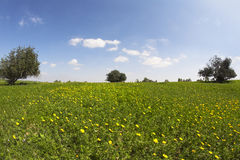 The field with camomiles Stock Photography