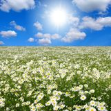 Field of camomiles Royalty Free Stock Photography