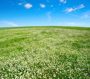 Field of camomiles Stock Photography
