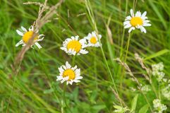 Field camomiles flowers daisy Stock Image