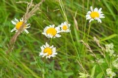 Field camomiles flowers daisy stock image