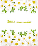 Field camomiles with green leaves on a white backg Royalty Free Stock Image
