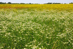 Field camomiles Royalty Free Stock Photo
