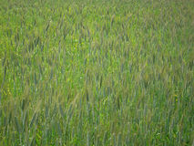 Field campaign consists of grass and green ears of corn.  Royalty Free Stock Photos