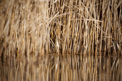 Field of canes. Reflected in the water royalty free stock image
