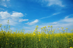 Field of canola Stock Photography