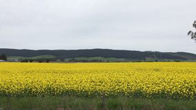 Field of canola flowers. Field of blooming yellow canola or rape flowers Stock Images