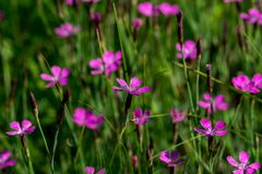 Field carnation Royalty Free Stock Photography
