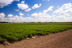 Field with carrot Royalty Free Stock Photography